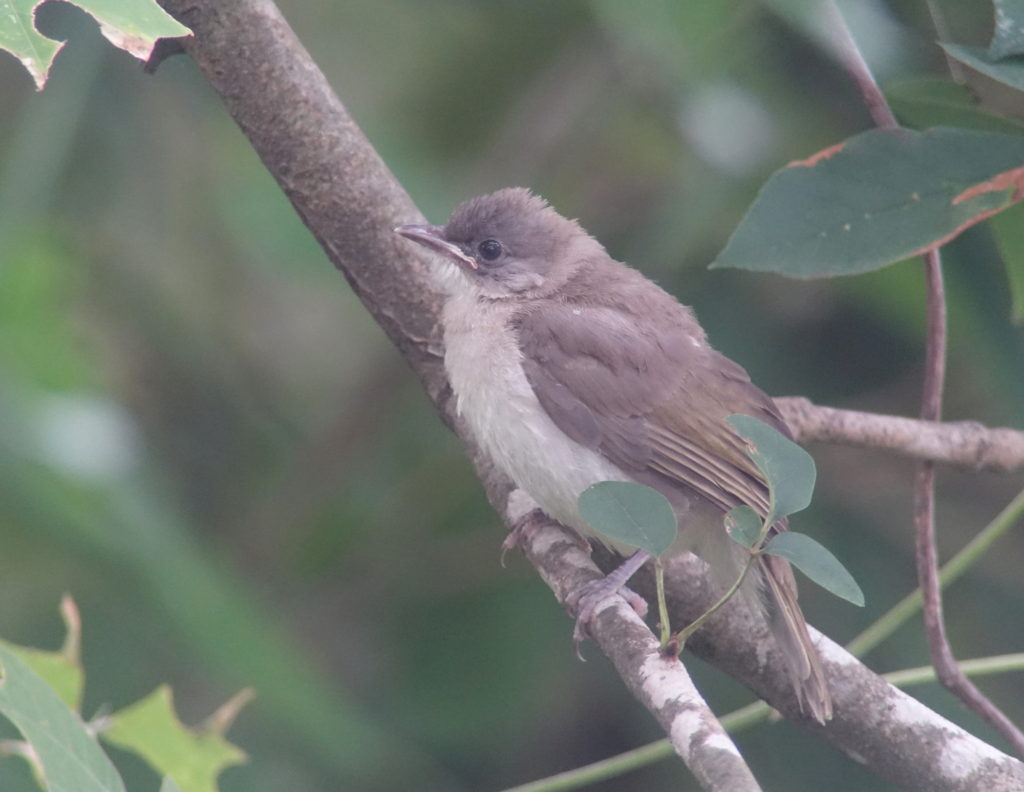 rs-juv-lvbulbul-aug-baek8863
