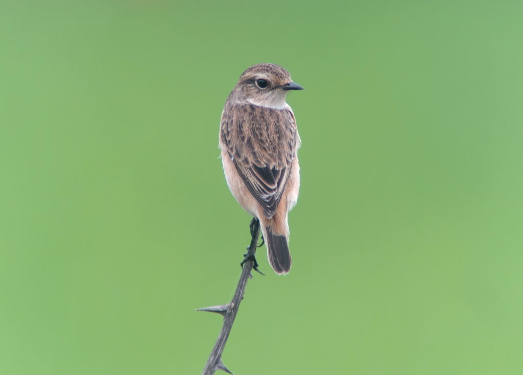 rs-stejneger'sstonechat-NM22
