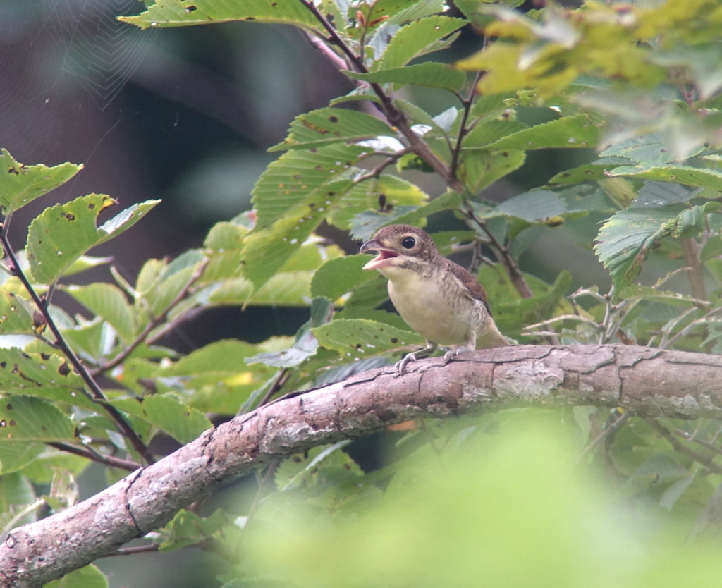 rs-tigershrike-nm-aug-baek-17-20