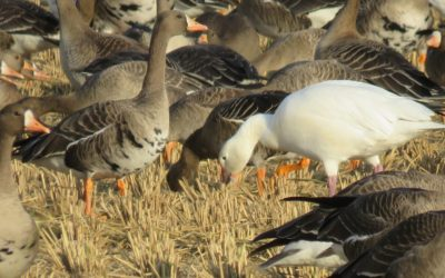 Picture 4 - Snow Goose