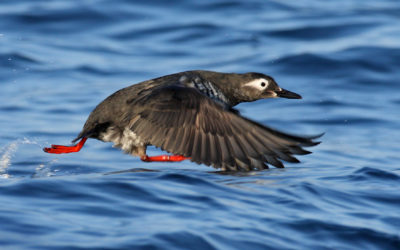 rs-blog-_spectacledguillemot-flying