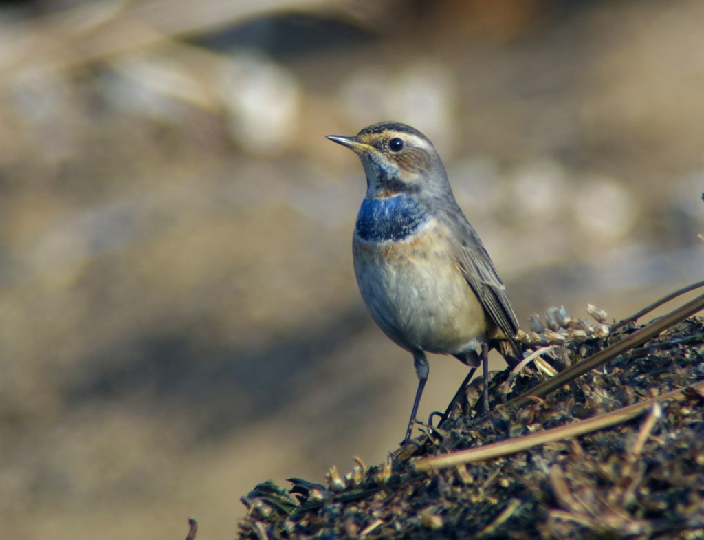 rs-bluethroat00240