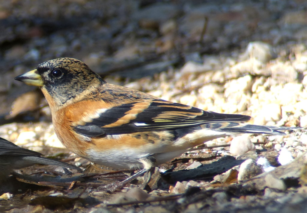 rs-brambling9804
