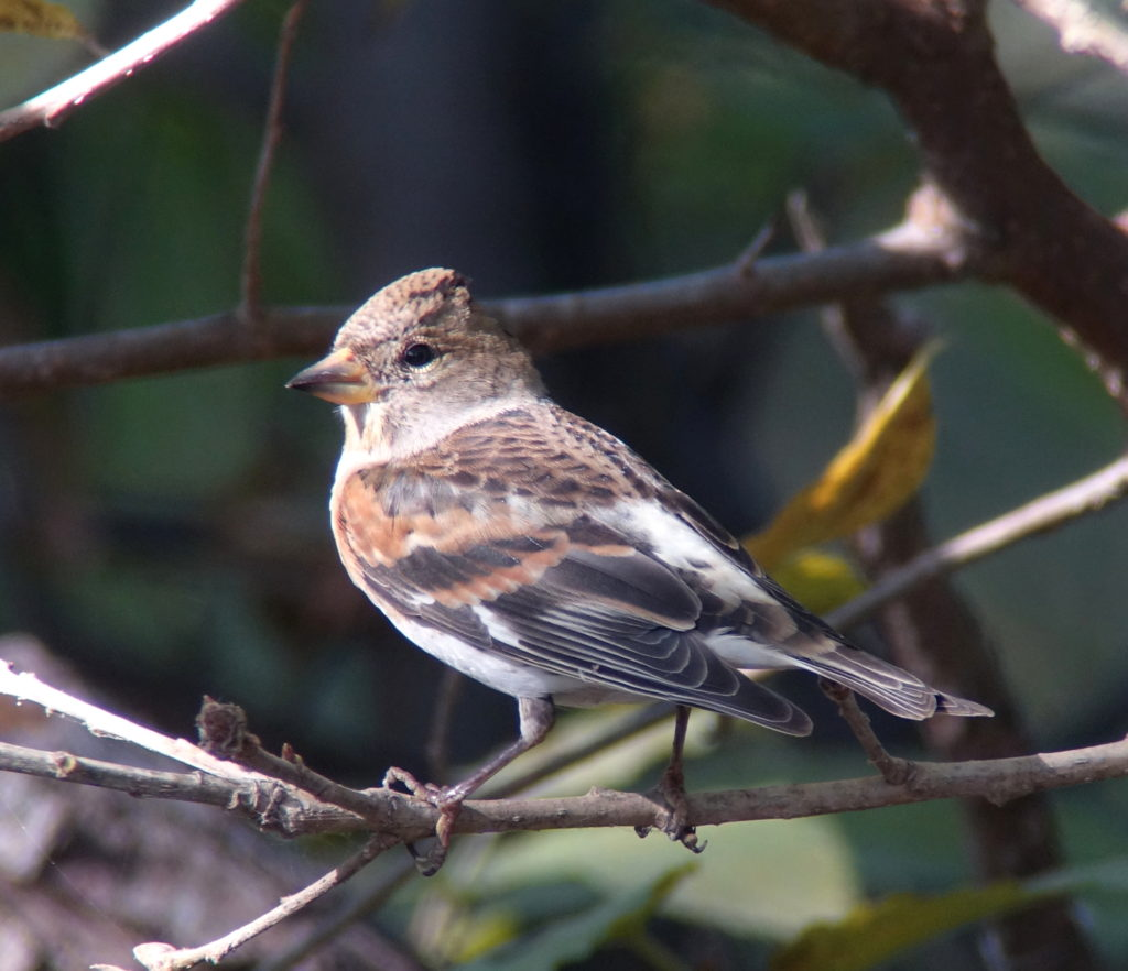 rs-brambling9815
