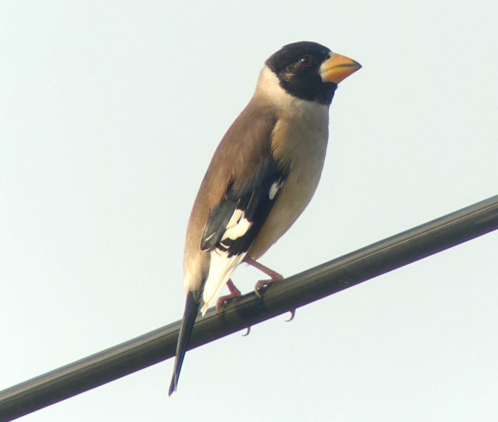rs-chinesegrosbeak572