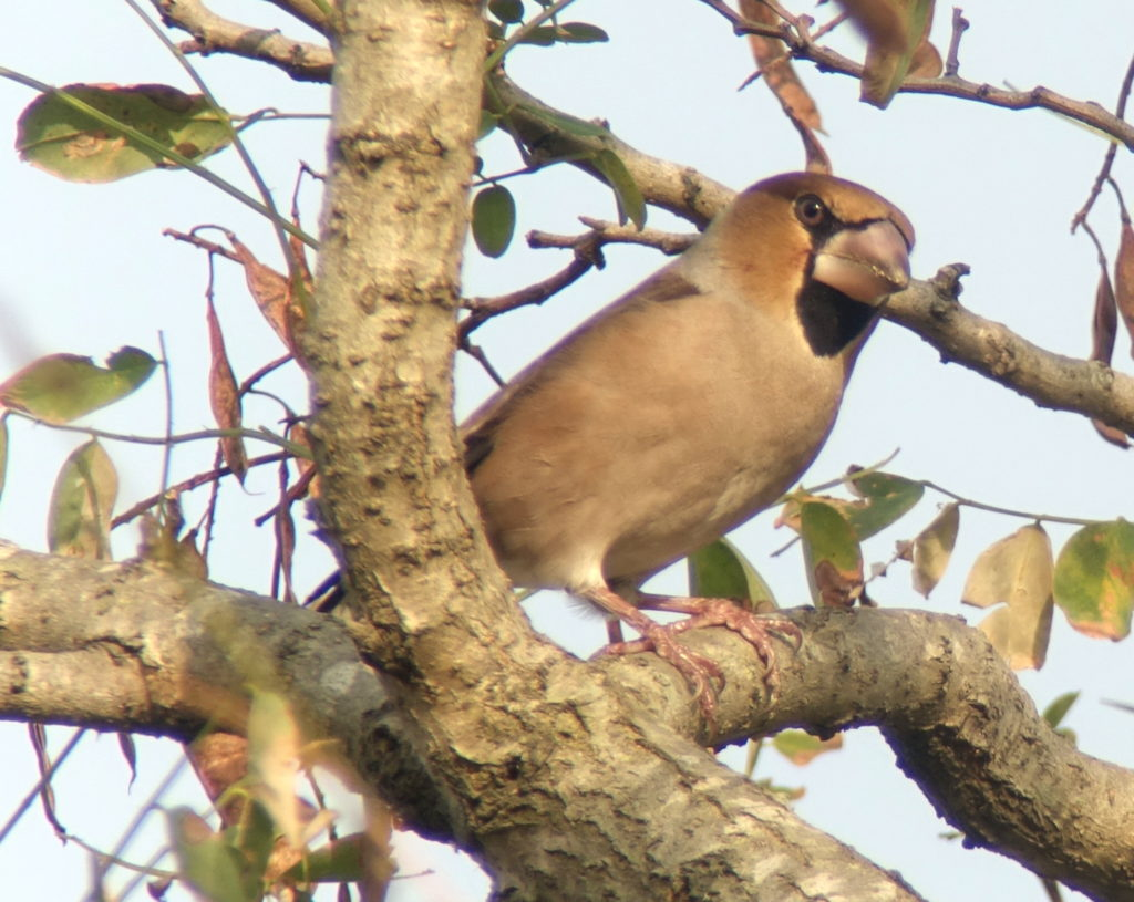 rs-hawfinch00630