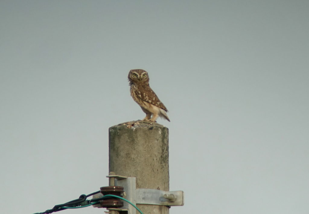 rs-littleowl-oct14-396