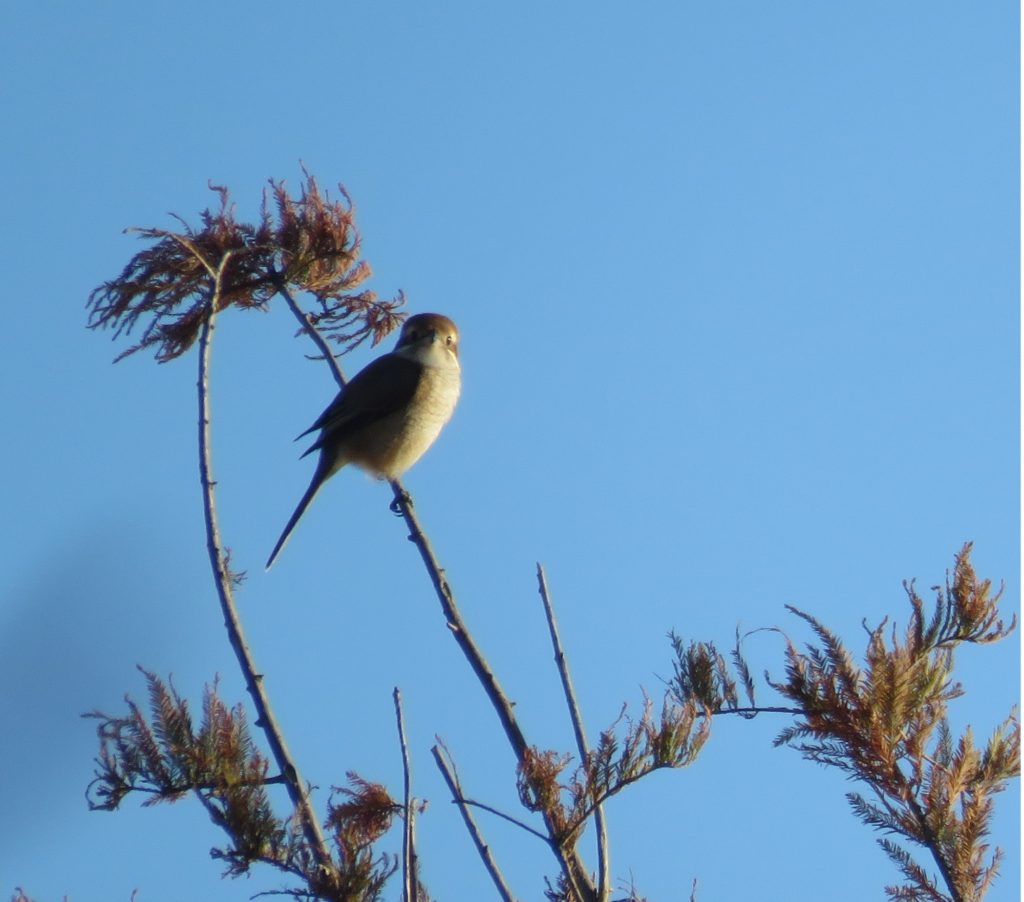 9 - Bullheaded Shrike