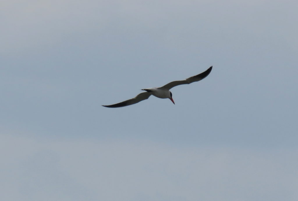 rs-Caspian Tern (7)-BS