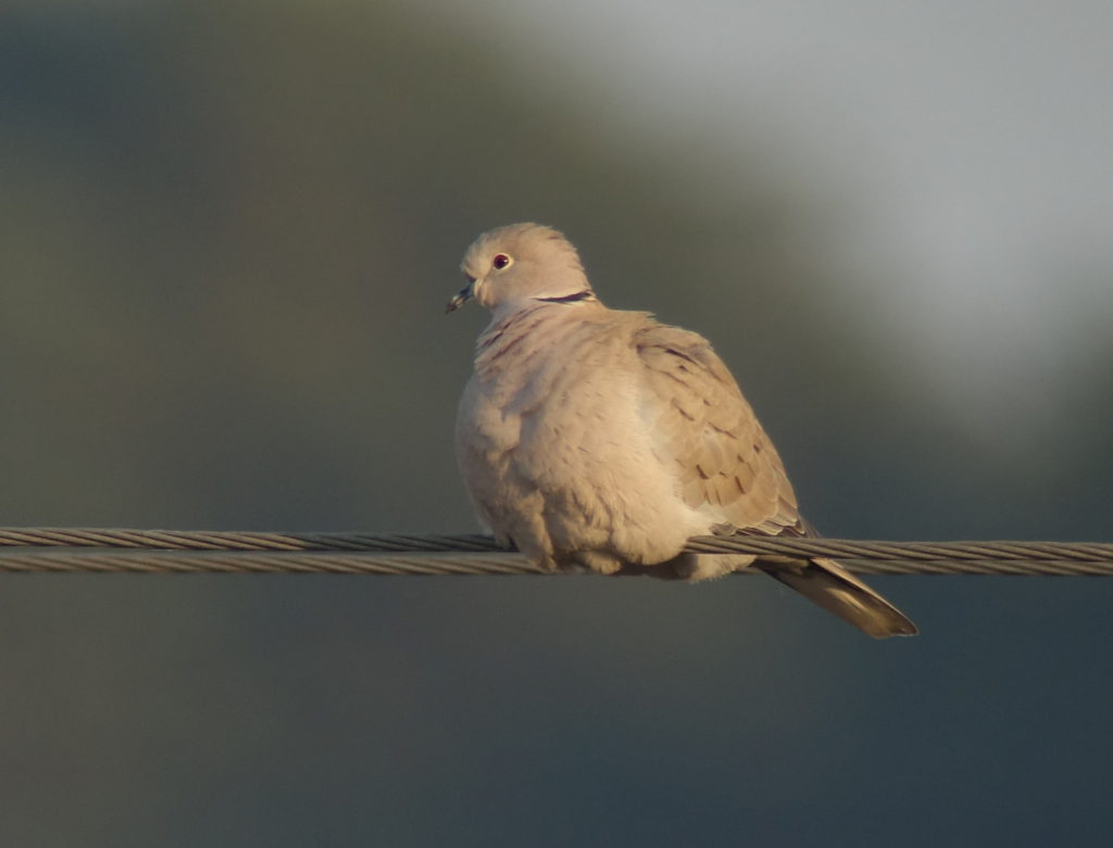 rs-collareddove1775-NM