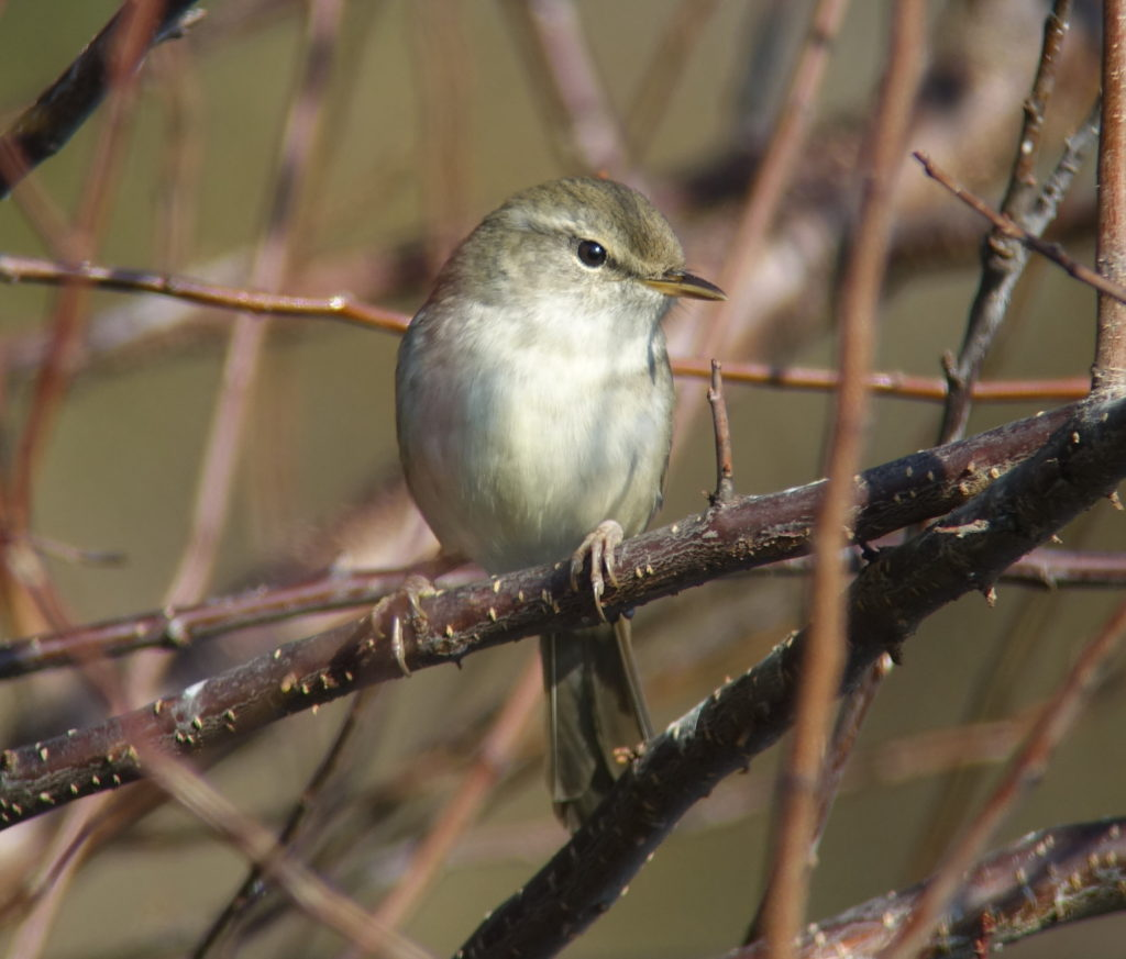 rs-japanesebushwarbler920