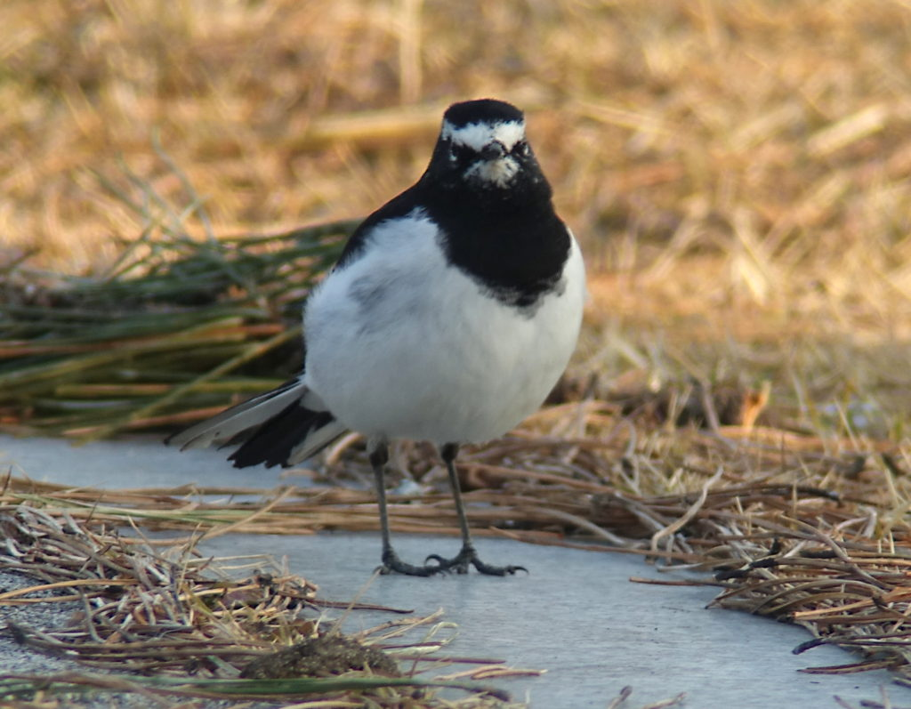 rs-japanesewagtail-3151