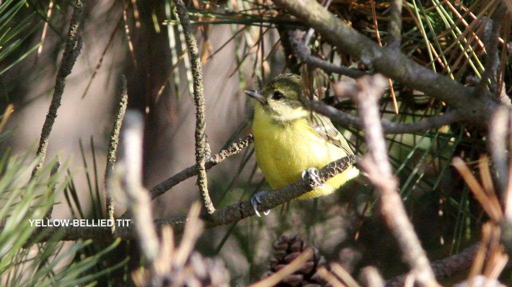 yellowbelliedtit-IMG_3187