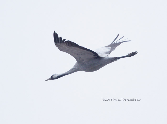 CommonCrane-20180113_C8I2209
