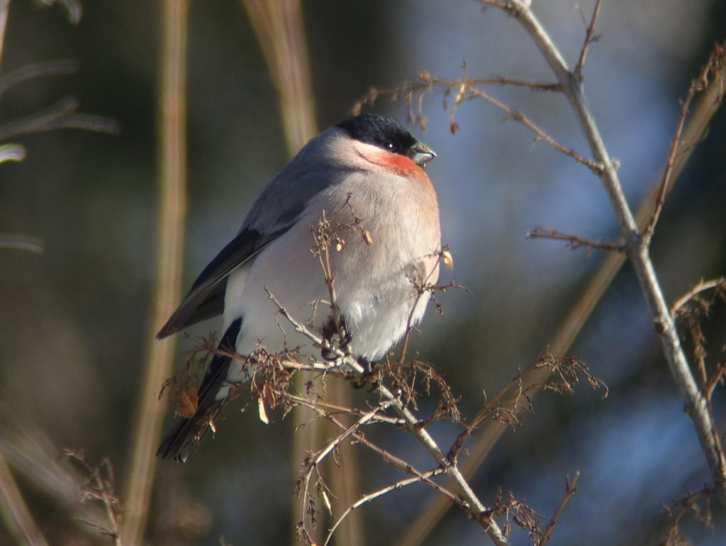 rs-bullfinch-05374