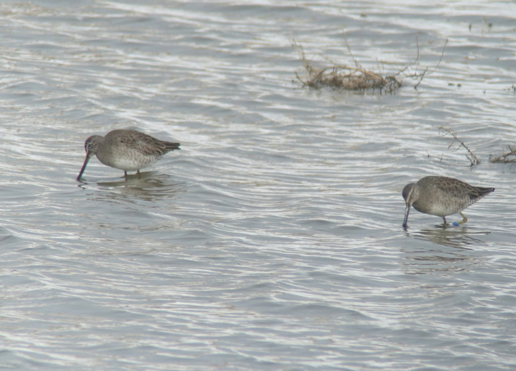 rs-lbdowitcher04925