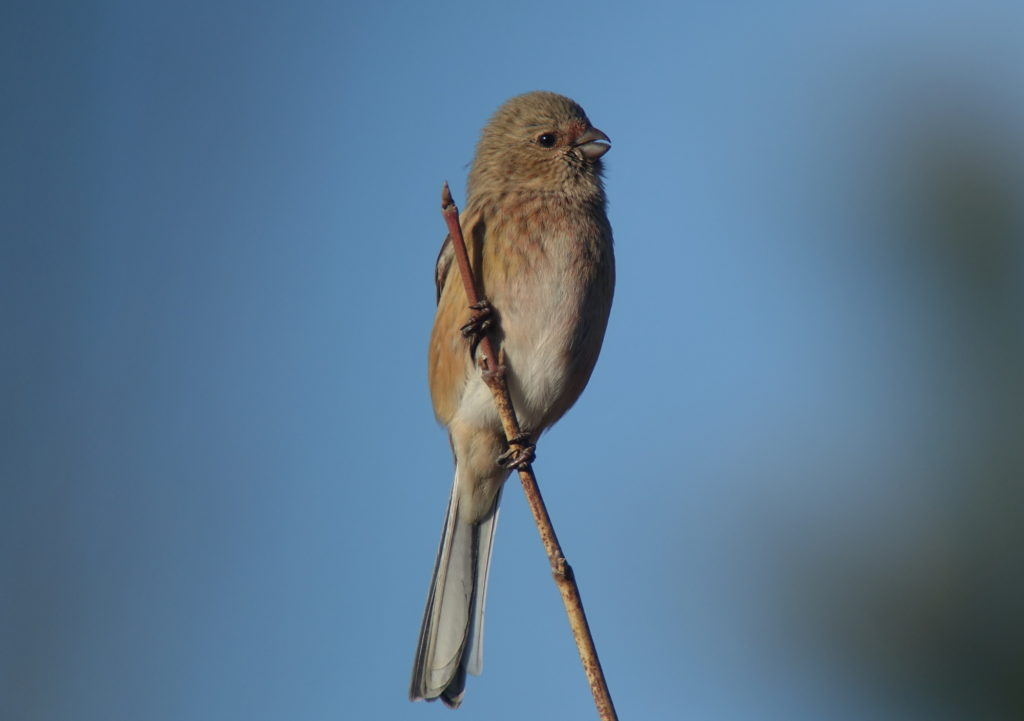 rs-longtialedrosefinch91