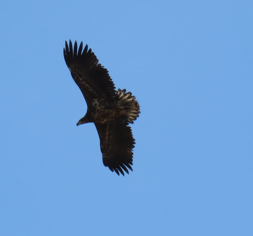 White Tailed Sea Eagle 2