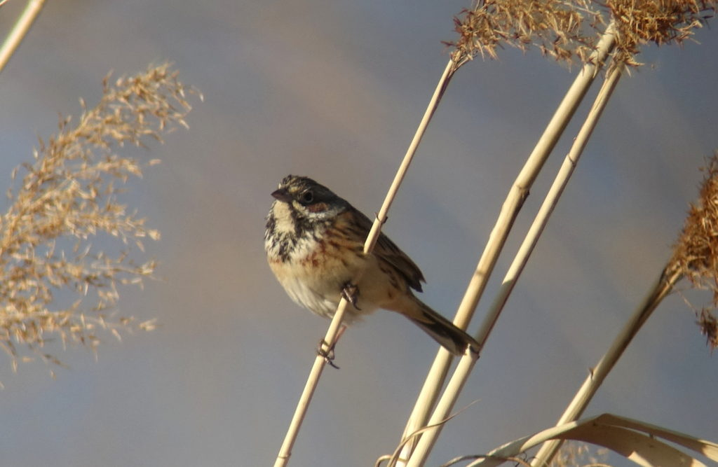 rs-chestnutearedbunting07338