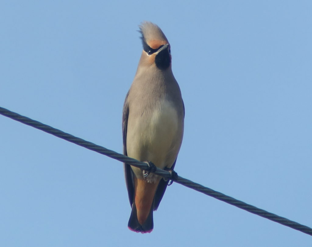 rs-japanesewaxwingDSC08557
