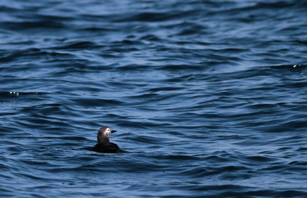 Spectacled Guillemot, Cepphus carbo