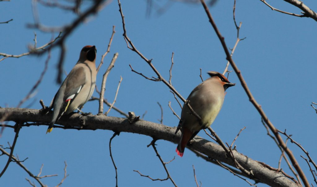 Bohemian Waxwing (left) Bombycilla garrulus and Japanese Waxwing (right) Bombycilla japonica